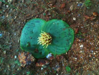 Massonia depressa down to earth pollination