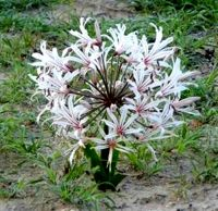 Nerine laticoma subsp. laticoma in flower