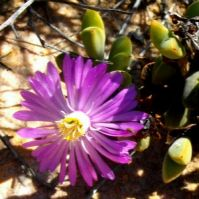 Braunsia apiculata unusual flower