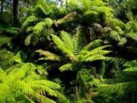 Cyathea cooperi, Australian tree ferns at home