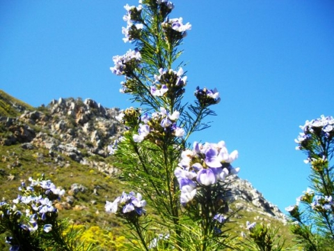 Psoralea pinnata on a mountain