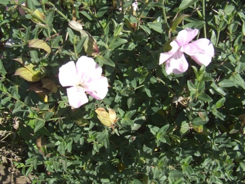 Barleria greenii in the Walter Sisulu National Botanical Garden