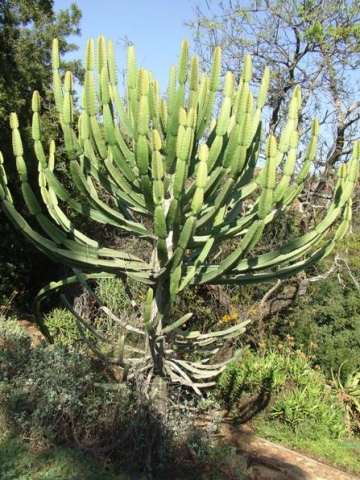 Euphorbia curvirama in the Walter Sisulu National Botanical Garden
